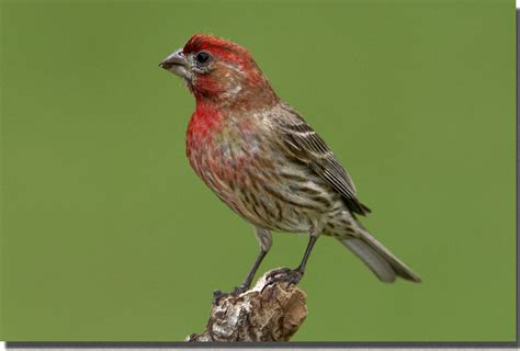 house finch carpodacus mexicanus house finch northwoods