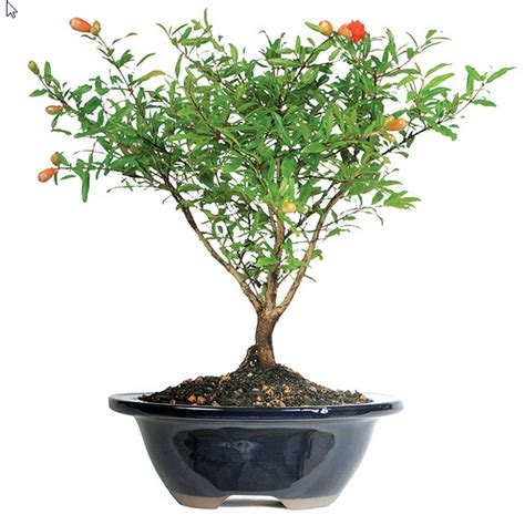 Cat Decor For The Home by Pomegranate Bonsai Tree Care