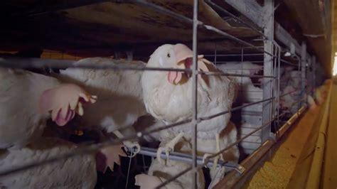 galline allevate in gabbia il vero prezzo delle uova galline allevate in gabbie tra