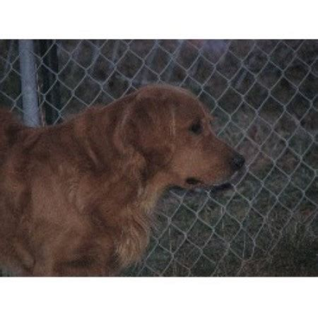 golden retriever breeders maine goldenridge kennels golden retriever breeder in hden maine