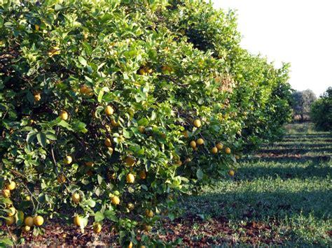 raccolta limoni in vaso az fiumara coop albero paradiso