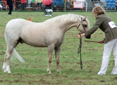 welsh section b pin mountain welsh pony on pinterest