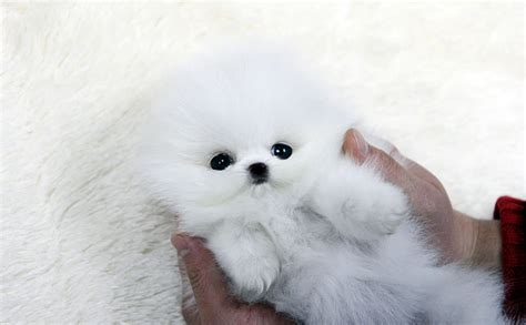 adopt a teacup pomeranian charming teacup pomeranian puppies for adoption offer