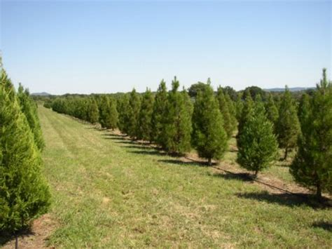 san antonio area of texas christmas tree farms choose and