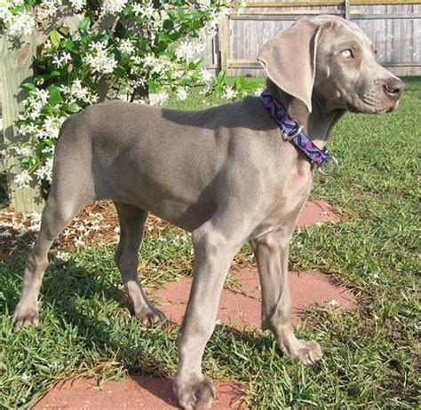weimaraner mix puppies weimardoodle weimaraner poodle mix info temperament puppies pictures