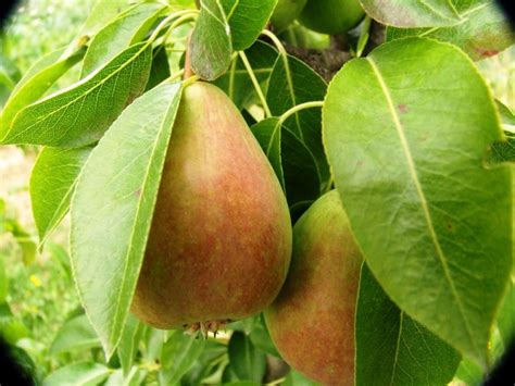 when do pear trees produce fruit fruit trees preservation tree services