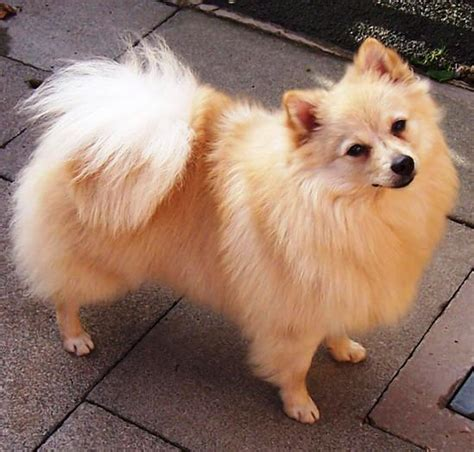 german spitz puppies german spitz picture breeds picture