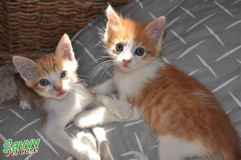 Image Gallery orange white cat