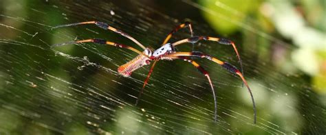 spider infested digs  company devises   spin silksans  spiders california