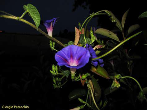 di notte fiore di notte foto immagini natura macro fiori e