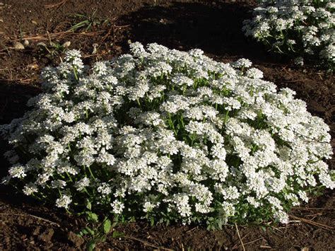 Indoor Decorative Plants Candytuft Pack Of 40 Seeds Greenmylife Anyone Can Garden