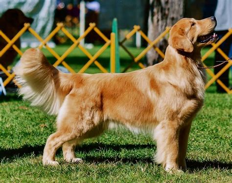 golden retriever club of america golden photo gallery golden retriever club of america