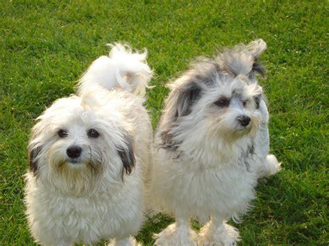 lowchen puppies lowchen