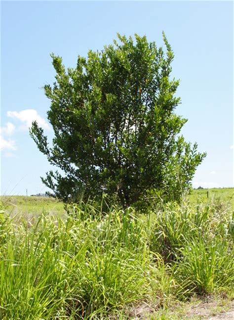 berry tree hawaii citharexylum caudatum juniper berry fiddlewood