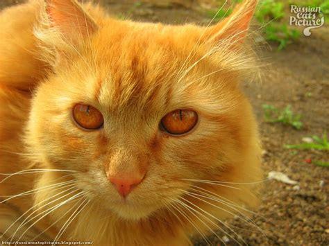 Cat Eye Original Orange image gallery orange eyed cat