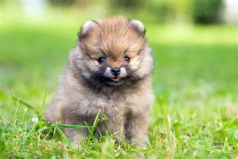 miniature pomeranian teacup pomeranian a k a miniature pomeranian ultimate home