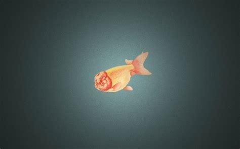 goldfish hd wallpaper goldfish wallpapers wallpaper cave