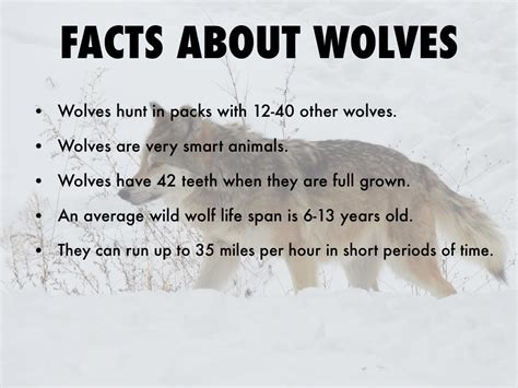 Facts about wolves wolves are very smart animals an average wild wolf