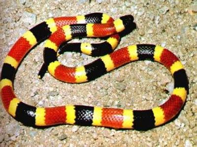 coral snake colors snakes rhymes with snakes