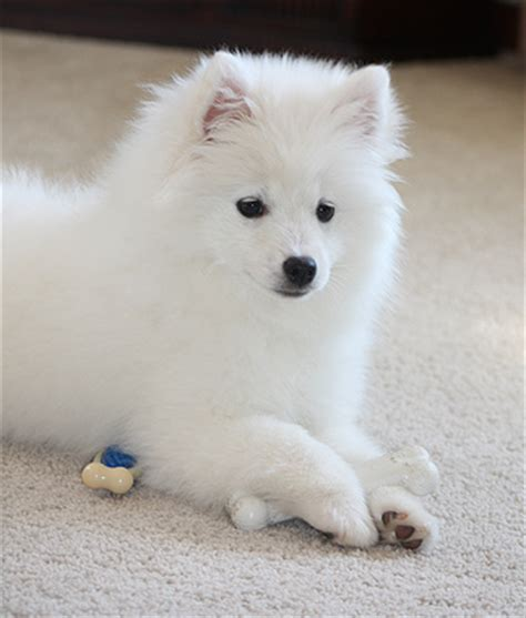 teacup american eskimo puppies for sale image white teacup yorkie puppies sale adanih