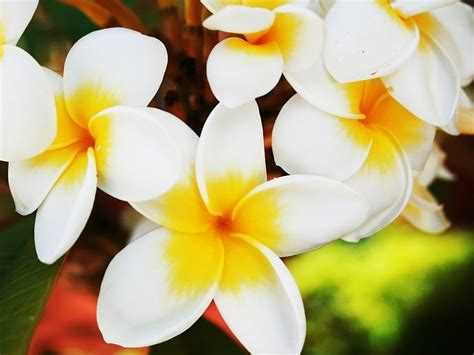 Hawaiian Flower Backgrounds Hawaiian Flower Wallpapers Wallpaper Cave