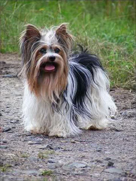 german yorkie 72 best images about biewer german yorkie on yorkie pictures of and dogs