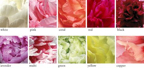 peony color peony care tree herbaceous intersectional