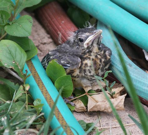 attempting to rescue a baby songbird robin operation