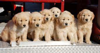 Where is the best place to get a golden retriever