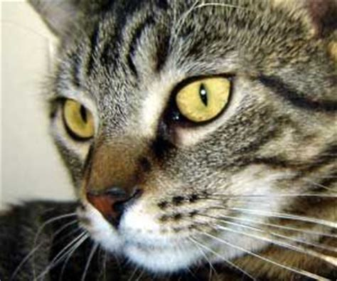 weepy eye 17 best ideas about cat eye discharge on kittens baby cats and cats