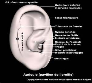 image photo oreille anatomie image de synth 232 se en 3d