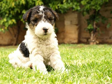 wire hair fox terrier puppies for sale wire hair fox terrier puppies for sale breeds picture