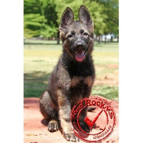 german shepherd puppies oklahoma rock k9 german shepherd breeder in edmond oklahoma listing id 22309