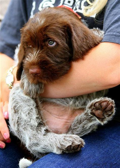 pointing griffon puppy the wirehaired pointing griffon two by two