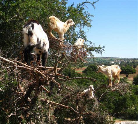 Pelembab Muka pelembab muka dihasilkan dari kambing dairishare