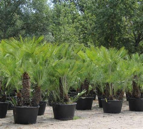 chamaerops humilis mediterranean fan palm chamaerops humilis mediterranean fan palm caragh nurseries