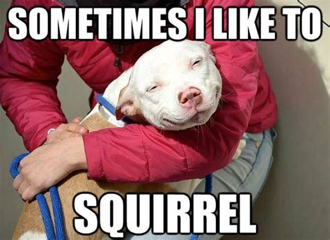 Pitbull Puppy Meme - photo collection red nose pitbull meme