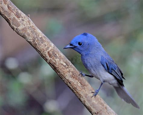 blue bird called black naped monarch sitting on a perch