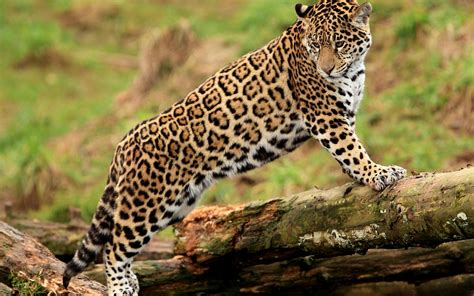 imagenes mujer jaguar jaguar full hd wallpaper and background image 2560x1600