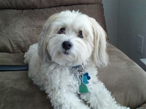 akc rules for giving a havanese a hair cut 216 best doggie love images on pinterest havanese