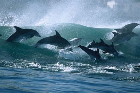 Ar Yuns taiji dolphin hunts myths debunked for dolphins