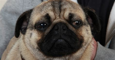 pugs problems the pug he developed a classic problem for pugs a sore eye pete the vet
