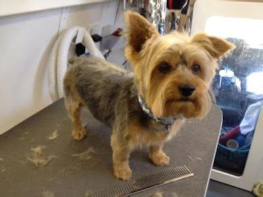 pictures of haircuts for silky terriers qqmong pet grooming shop 七月 2012