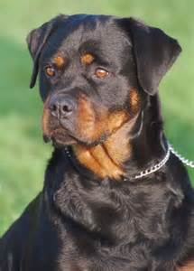 pitbull mixed rottweiler rottweiler and pitbull mix breed