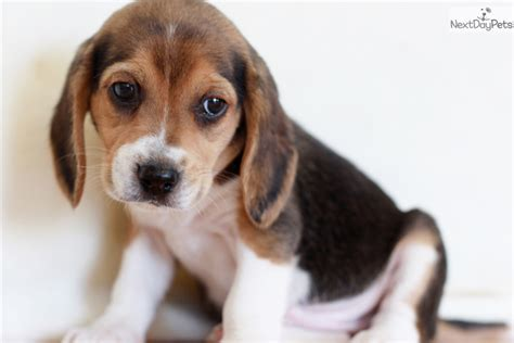 beagle puppies for sale near me beagle puppy for sale near southeast missouri missouri b29880ea 42f1