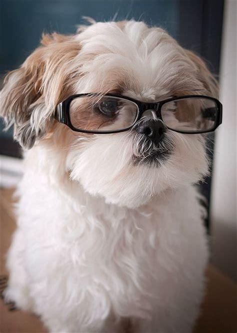 shih tzu fever 1000 id 233 es sur le th 232 me shih tzu sur chiots mignons chiots et chiens