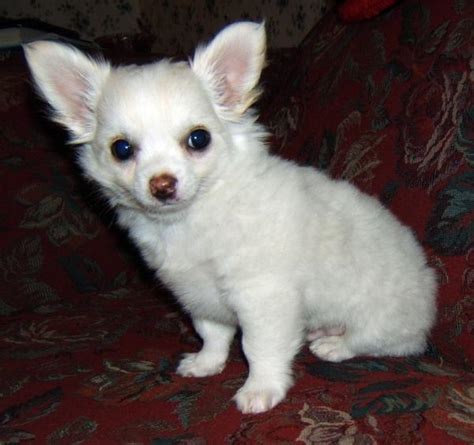 haired chihuahua puppies chihuahua puppies on adorable coat chihuahua puppies for sale breeds picture