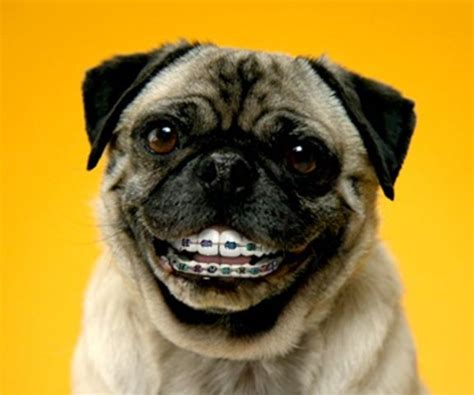 pug community community post 14 animals with braces that will make you smile posts other and