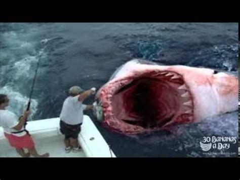 megalodon shark attacks boat megalodon shark attack boat off florida coast real or