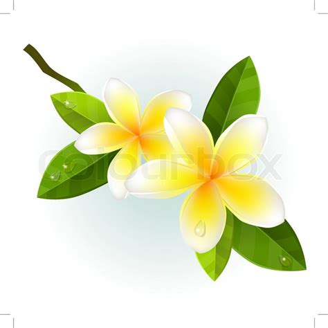 plumeria vector realistic branch of frangipani stock vector colourbox